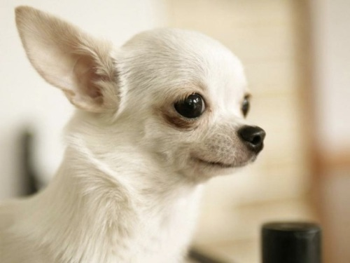 White-chihuahua-039-s-face_siz